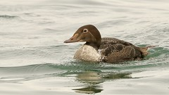 King Eider (young male) (ryknaves) Tags: birds ontario nature kingeider