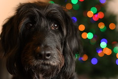 Forest and the Christmas Tree (mitchell.mysliwiec) Tags: labradoodle voigtlander nokton 5814 voigtlandernokton5814slll voigtlandernokton58mmf14slii