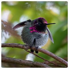 fluffy with pantaloons (marneejill) Tags: annas hummingbird fat fluffy colourful pink closeup winter bc parksville pantaloons