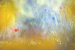 Le soir du dernier coquelicot (Nicole Barge) Tags: coquelicot poppy poppies impressionnisme jardin garden soir evening mohn 2019 nicolebarge bleunature