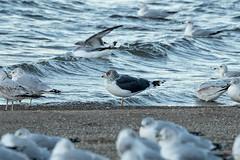 LESSER BLACK-BACKED GULL (nsxbirder) Tags: lesserblackbackedgull ohio clermontcounty birds eastforkstatepark bantam