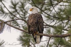 Looking For Kokanee (NikonDigifan) Tags: eagle baldeagle birdwatching bird birdofprey nature naturephotography naturesfinest wildlife wildlifephotography idaho nikond850 nikon nikon20050056 mikegassphotography