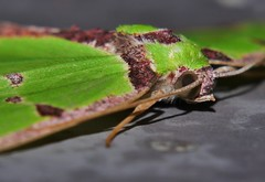 Teenas green sharkie moth Agathia sp aff pisina Geometrinae Geometridae Geometroidea Teenas rainforest Airlie Beach P1089762 (Steve & Alison1) Tags: teenas green sharkie moth agathia sp aff pisina geometrinae geometridae geometroidea rainforest airlie beach