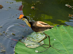 My feet are getting wet! (suziehancock) Tags: darwin kakadunationalpark kakadu northernterritory australia comb crested jacana lotus bird lily trotter jesus water olympus combcrestedjacana
