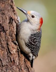 Lady Red-bellied Woodpecker (tresed47) Tags: 2019 201912dec 20191204homebirds birds canon7dmkii chestercounty content december fall folder pennsylvania peterscamera petersphotos places redbelliedwoodpecker season takenby us woodpecker