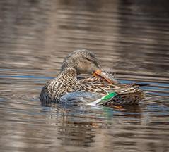 Northern Shoveler-6180 (peter57117) Tags: northernshoveler anasclypeata duck ducks waterfowl