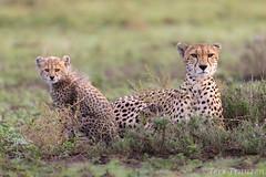 International Cheetah Day (tkfranzen) Tags: internationalcheetahday cheetah acinonyxjubatus conservation iucnvulnerable savethecheetah wildlifephotography africansafari