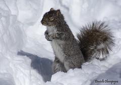 Ecureuil Zen (Danielle Champagne) Tags: daniellechampagne d7100 nikon 70300 parcangrignon montreal winter écureuil squirrel