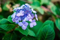 Bloom 2 (rg69olds) Tags: flowers flower art canon nebraska 40mm lauritzengardens canoneos5dmarkiv 5dmk4 sigma40mmf14artdghsm 11302019 plants sigma omaha green petals purple petal bloom 40mmf14dghsm|a