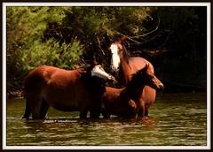 Cooling off in the Salt River (WendieLarson) Tags: wendielou horse wildhorses animal arizona river saltriver nikon nature nikond7000