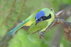 Green Jay (Alan Gutsell) Tags: greenjay green jay cyanocoraxluxuosus newworldjays corvidae texasbirds texas southtexasbirds bentsenstatepark alan winter wildlife wildlifephoto naturephoto canon