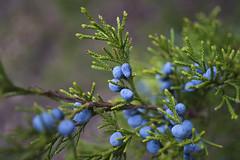 Sights From Today's Hike (Bernie Emmons) Tags: cedar cedartree berries wildberries green blue sightsfrommyhikes