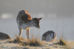 Fawns First Frost (andy_AHG) Tags: wildlife winter stag fallowdeerbuck antlers animals nikond300s yorkshire fawn frost