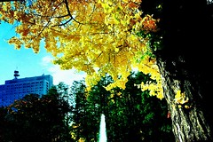an old ginkgo tree (sugar-leg) Tags: tree autumn park leaves rich gold yellow