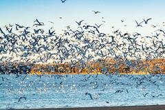 RING-BILLED GULLS (nsxbirder) Tags: ringbilledgull ohio clermontcounty birds eastforkstatepark bantam flock
