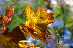 Turning Maple (Gene Ellison) Tags: tree autumn fallcolor red orange amber yellow green leaves nature photography naturephotography fujifilm velvia sooc