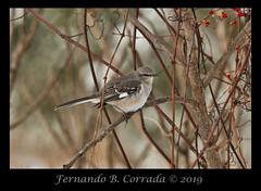 Northern Mockingbird (2242) (fbc57) Tags: birds allenbrothersmarsh westminster vermont nikond850 nikon500f56pfedvrtc14x northernmockingbird mockingbirds mimidae mimuspolyglottos