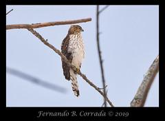 Cooper's Hawk (2214) (fbc57) Tags: birds allenbrothersmarsh westminster vermont nikond850 nikon500f56pfedvrtc14x coopershawk hawks raptors accipitercooperii