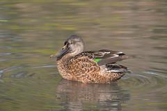 Female Northern Shoveler (naturegirl99) Tags: ducks duck bird birds waterfowl iridescence feathers bill beak nature wildlife