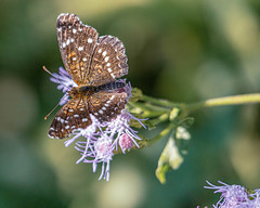 Bordered Patch Butterfly and Flowers (Stephen G Nelson) Tags: insect butterfly flower mistflower botanicalgarden tucson arizona