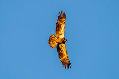 BALD EAGLE - IMMATURE (nsxbirder) Tags: ohio baldeagle clermontcounty birds eastforkstatepark bantam immature