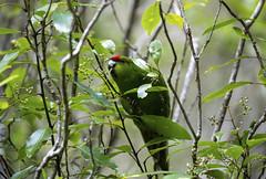 Red crowned parakeet. (richard.mcmanus.) Tags: newzealand redcrownedparakeet ulvaisland bird wildlife rainforest mcmanus parrot
