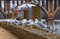 Flock of Ring-Billed Gulls by the City Docks (SweetCreek) Tags: animal background beak billed bird birds bridge colony color colorful dock downtown feathers flight flock fly fredericksburgva group gull habitat isolated larus natural nature northamerica outdoor ringbilled ringbilledgull sea seabird seagulls shore sky white wild wildlife wings