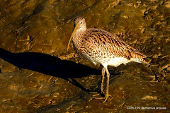 CURLEW (pete. #hwcp) Tags: hythelagoon duck nikonp1000 tit wader wickedweasel winter curlew