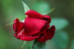 red rose (Christine_S.) Tags: floralphotography redroses rose garden nature flowers closeup japan bokeh canoneosm5 ef100mmf28l raindrops water drops rain mirrorless rosebud