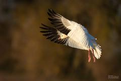Ross's Goose (Chen rossii) (Don Dunning) Tags: birds california chenrossii colusa colusanwr flight goose nationalwildliferefuge rosssgoose sonya7riv sonyfe200600mmf5663goss