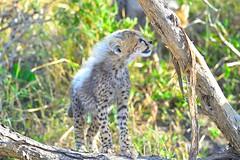 I talk to the trees .. (John Kok) Tags: kenya masaimara serian september2015 cheetah acinonyxjubatus nikkor80056evr