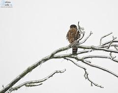 Merlin Atop an Icy Tree (Victoria C Martin) Tags: bird birdsofontario hamilton hamiltonontario nature wildlife birdwatching birding