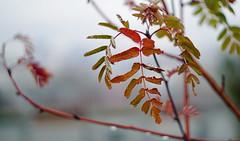 Autumn (znamenshchikov) Tags: autumn leaves fallcolors sonya6000 helios44m4 manuallens 2018 fall defocus bokeh mood nature drops