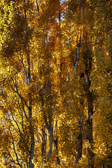 Fall In Lee Vining (gpa.1001) Tags: california owensvalley monocounty easternsierra leevining fallcolors fall