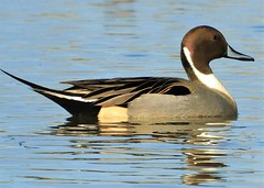 Pintail Duck at Sacramento National Wildlife Refuge (Ruby 2417) Tags: pintail duck bird wildife nature sacramento national refuge marsh swamp wetland wetlands water reflection pond