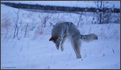 Semi-pounce?  +4,300 Views, Thank-you!! (CrzyCnuk) Tags: coyote alberta canon tamron150600g2 wildlife mammals kananaskis