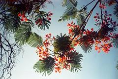 Arbol en flor (mavricich) Tags: calle canon solaris flor flores analógico analogic film color ferrania película cielo sky árbol flowers