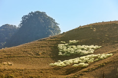 _J5K5212.0212.Lóng Luông.Mộc Châu.Sơn La. (hoanglongphoto) Tags: asia asian vietnam northvietnam northwestvietnam northernvietnam landscape scenery vietnamlandscape vietnamscenery mocchaulandscape mountain flanksmountain sky bluessky plumblossom sunny afternoon afternoonsunshine sunshine canon canoneos1dsmarkiii tâybắc sơnla mộcchâu lóngluông phongcảnh phongcảnhmộcchâu spring mùaxuân hoamận mộcchâumùaxuân núi sườnnúi buổichiều nắngchiều bầutrời bầutrờixanh mountainouslandscapeinvietnam longnguyen hoanglongphoto