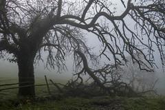 THE BROKEN BRANCH (DECAPITATED TENTACLE) (LitterART) Tags: tree baum ast mist fog steiermark branch verletzung insurance obstbaum fruittree