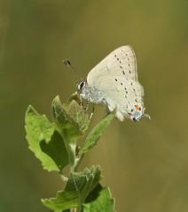 Rare California Hairstreak Butterfly (Ruby 2417) Tags: hairstreak butterfly insect wildlife nature stebbins cold canyon reserve winters davis yolo oak closeup macro