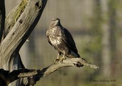 Buzzard (davefieldson) Tags: ywp yorkshirewildlifepark nature yorkshire outside doncaster animals wildlife