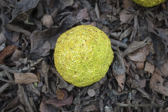 Sights From Today's Hike (Bernie Emmons) Tags: horseapple osageorange leaves sightsfrommyhikes yellow green brown macro