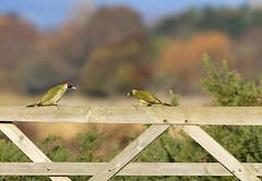 Faceoff between the Woodpeckers (sinky 911) Tags: greenwoodpecker wildlife nature