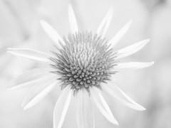 Echinacea high key (explored) (Simple_Sight) Tags: echinacea highkey monochrome macro closeup bokeh hmbt flower petals garden