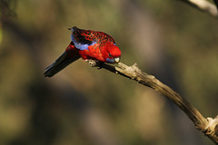 Ready to go (rankenhohn59) Tags: bird parrot animal australian native nature wildlife woodland garden rosella red