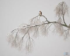 Red-tail Hawk in a Winter Storm (Victoria C Martin) Tags: bird hamiltonontario hamilton nature wildlife birdsofontario birdofprey winter snow storm tree