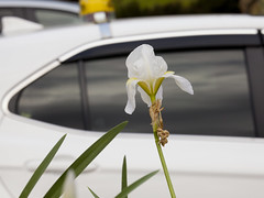 Taxi as Background-1 (zeevveez) Tags: זאבברקן zeevveez zeevbarkan canon background taxi flower