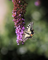 Swallowtail (montseny visions) Tags: beauty butterfly catalonia catalunya colors color earth field flower flowers insect light life wildlife wild gombrèn ripollès mariposa macro ngysa nature naturephotography natural naturalworld naturephoto outside outdoor papallona