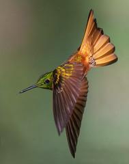 Chestnut-breasted coronet (Eric Gofreed) Tags: boissonneauamatthewsii chestnutbreastedcoronet ecuador guangolodge hummingbird