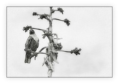 Just Checking Things Out Up Here (Christina's World :) Tags: 0036 hawk redtailedhawk birdofprey bird nature torreypinesnaturepreserve blackandwhite monochrome highcontrast highkey textures topaz touristattraction tree monochromeart